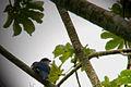 Tocororo cubano (Priotelus temnurus).jpg