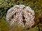 Toxopneustes pileolus (Sea urchin)