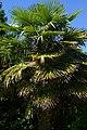 Trachycarpus fortunei, Conservatoire botanique national de Brest 02.jpg