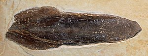 Gladius (cephalopod) - Fossilised gladius of Trachyteuthis