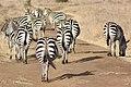 Traffic jam of zebras at Nairobi National Park.jpg