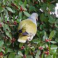 Treron calvus glaucus, in vyeboom, n, Pretoria.jpg