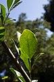 Trichilla havanensis CF9A3630 Siguaraya.jpg