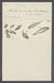 Trichoda vermicularis - - Print - Iconographia Zoologica - Special Collections University of Amsterdam - UBAINV0274 113 12 0003.tif