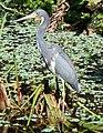 Tricolored Heron in Wakodahatchee.jpg