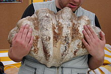 Image of man holding a dead giant clam shell in his arms