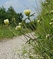 Trifolium ochroleucon 070608.jpg