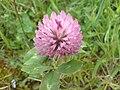 Trifolium pratense - Trebol rojo.jpg
