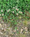 Trifolium repens IP.jpg