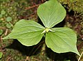 Trillium tschonoskii (fruits s4).jpg