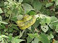 Trimeresurus macrolepis, large-scaled tree viper, large-scaled pitviper at Mannavan Shola, Anamudi Shola National Park, Kerala (12).jpg