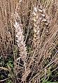 Triticum aestivum ripe, Tarwe oogstrijp.jpg
