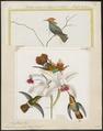 Trochilus ornatus - 1700-1880 - Print - Iconographia Zoologica - Special Collections University of Amsterdam - UBA01 IZ19100431.tif
