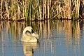 Trumpeter swan on Seedskadee National Wildlife Refuge (34355976573).jpg