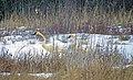 Trumpeter swans in the snow .... (6806154658).jpg