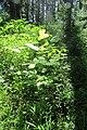 Tulip Tree 5181.jpg