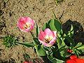 Tulipa florenskyi 3.jpg
