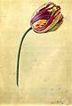 Tulipan NA.jpg
