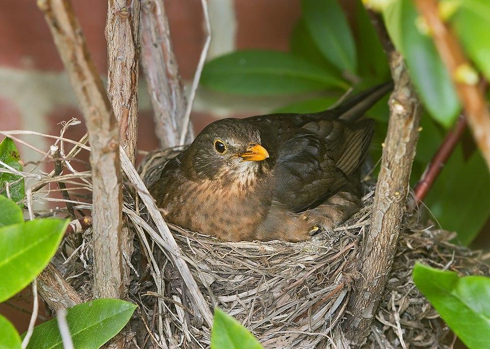 Turdus merula Nesting
