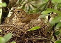 Turdus philomelos -New Zealand -nest-8.jpg