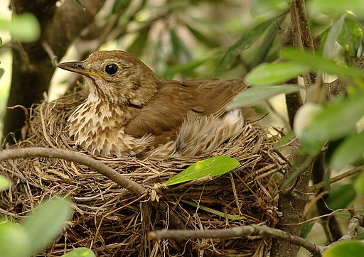 Turdus philomelos -New Zealand -nest-8