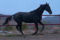 Turkmen Studfarm - Flickr - Kerri-Jo (44).jpg