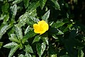 Turnera ulmifolia 13zz.jpg