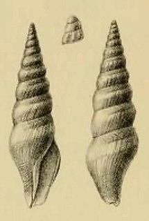 <i>Turricula turriplana</i> Species of gastropod