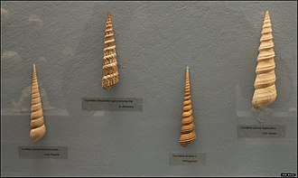 Turritella - Shells of different Turritella species