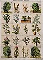 Twenty trees, herbs and shrubs of the bible. Chromolithograp Wellcome V0044741.jpg