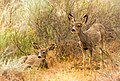 Two Fawns (41649822230).jpg