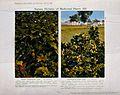 Two flowering plants; thorn-apple (Datura stramonium) on the Wellcome V0044360.jpg