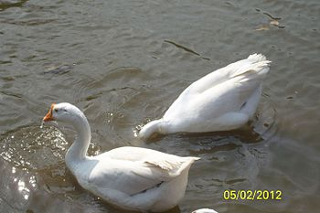 Two little duckies playing with their best friend-Water.jpg