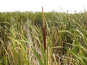 Typha capensis.jpg