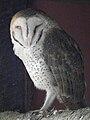 Tyto alba Barn Owl in Tanzania 5114 Nevit.jpg
