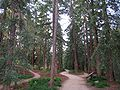 UC Davis arboretum - redwood grove 2.jpg