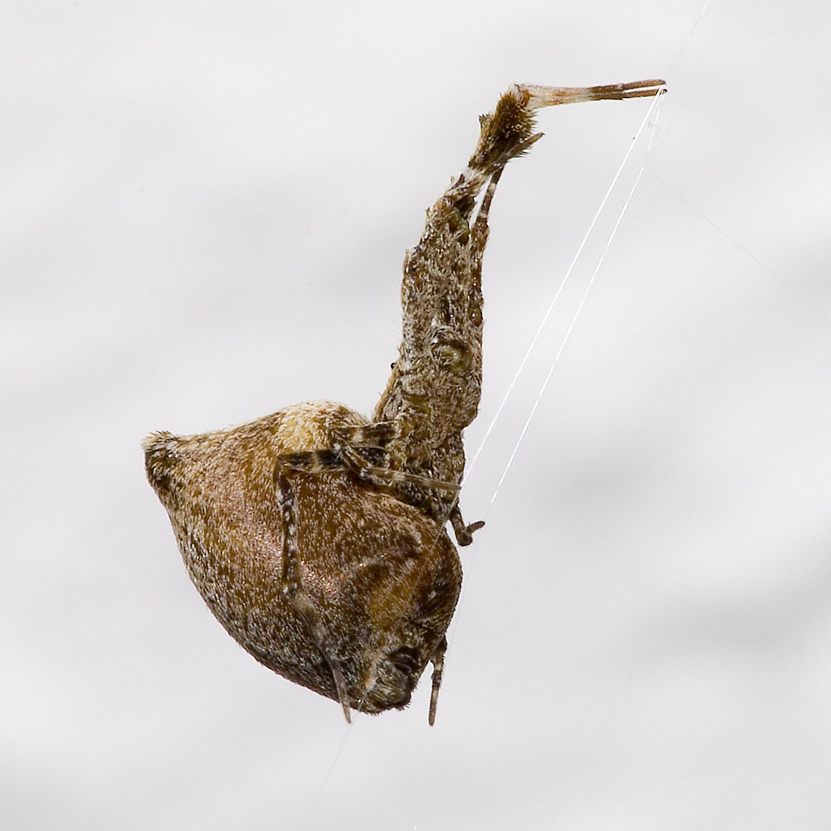 Uloboridae - Wikipedia