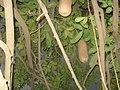 Unidentified Plant in Odisha 01.jpg
