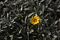Unidentified flower on Malta 02.jpg
