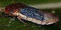 Unknown leafhopper (14501392526).jpg