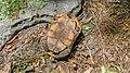 Upside-down tortoise (33428802131).jpg