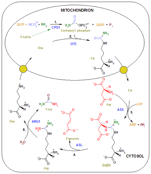 File:Urea cycle 2.png