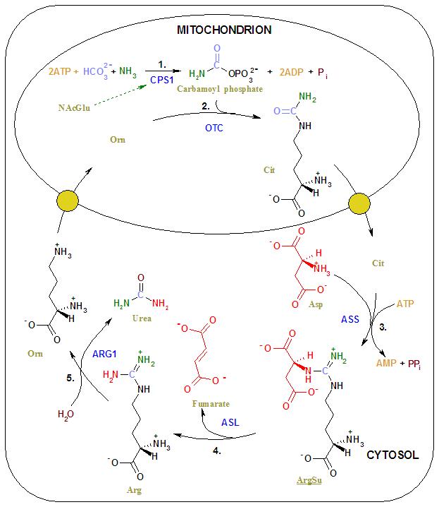 Urea cycle 2