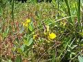 Utricularia cornuta PinhookBog.jpg