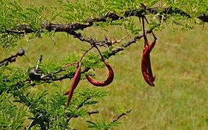 Vachellia drepanolobium - Image: Vachellia drepanolobium seed pods