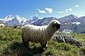 Valais Blacknose sheep 2.jpg