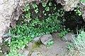 Valeriana integrifolia Phil. - Flickr - Pato Novoa (1).jpg
