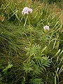 Valeriana officinalis01.jpg