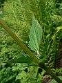 Valeriana sitchensis 21614.JPG