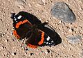 Vanessa atalanta - Red Admiral butterfly 4.jpg